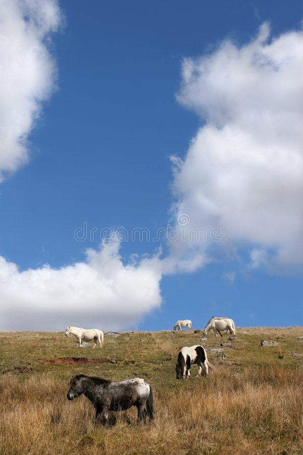 Roaming Free. Wild Welsh Mountain ponies roaming free in spring in the Brecon Beacons, National Park,Wales, Untied Kingdom. Set against a blue sky and clouds royalty free stock photos