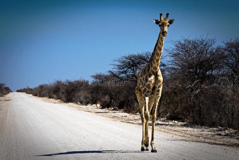 Roaming giraffe on an African gravel road. With blue sky and white road stock photo