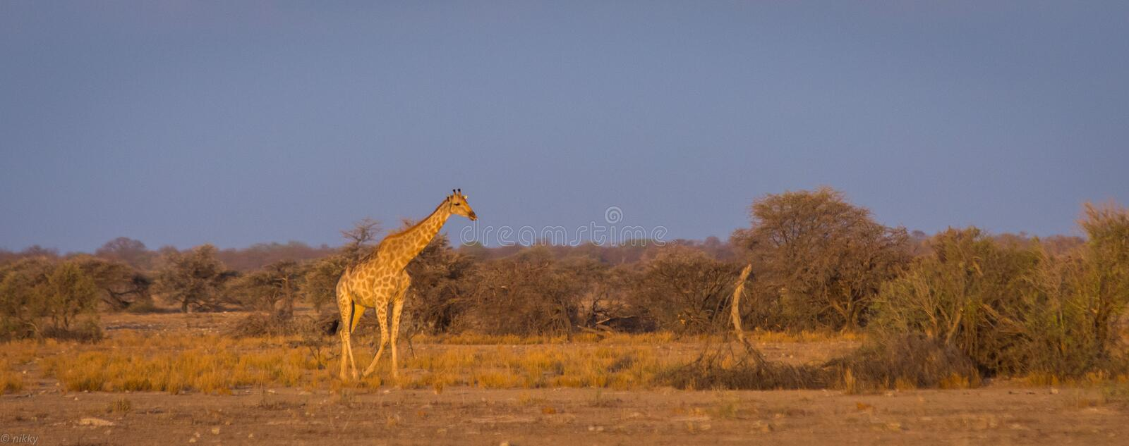 Roaming giraffe on the African savannah. At dawn with trees and shrubs stock images