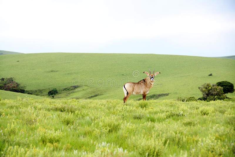 Roan антилопа на холмах плато Nyika стоковое изображение