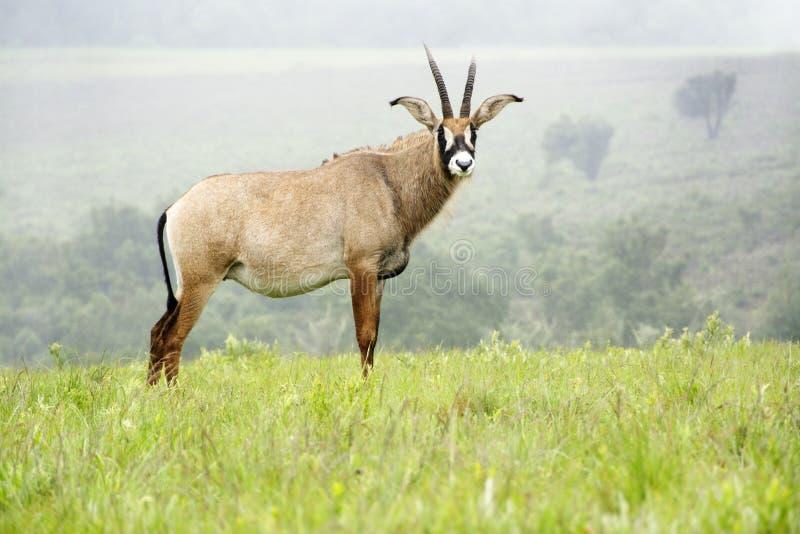 Roan антилопа на холмах стоковые изображения
