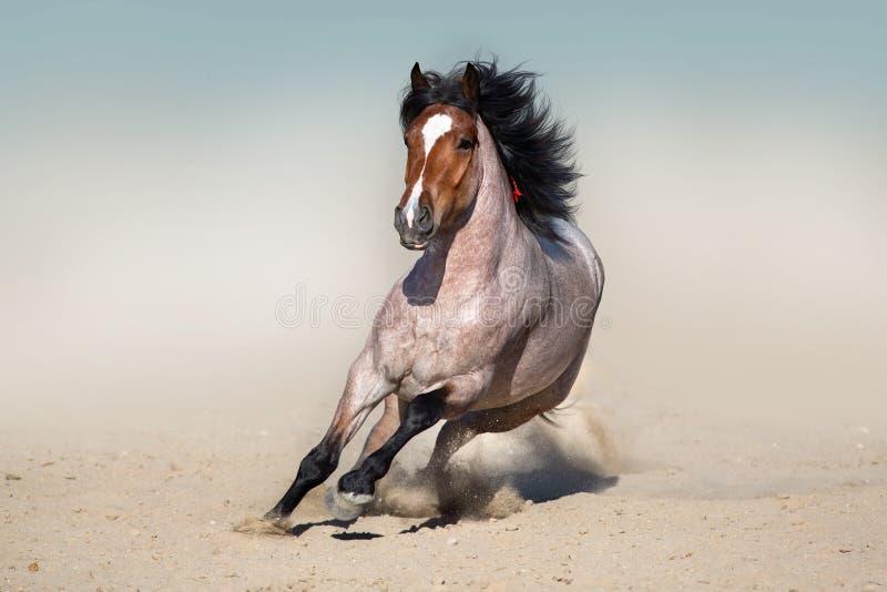 Roan дикая лошадь залива, который побежали в пустыне стоковые фотографии rf