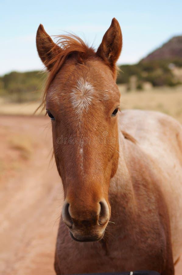Roan лошадь Неш-Мексико стоковое изображение
