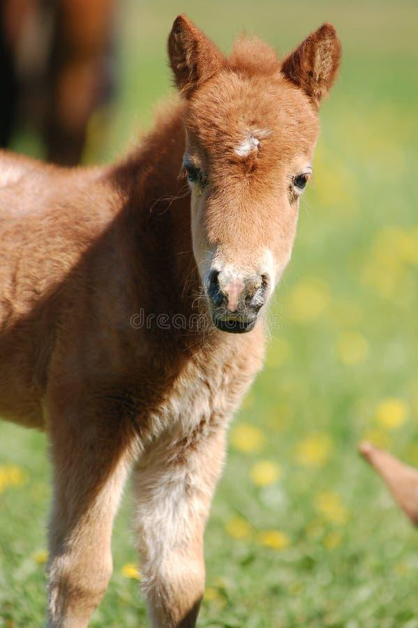 Roan портрет лошади на черноте стоковое фото