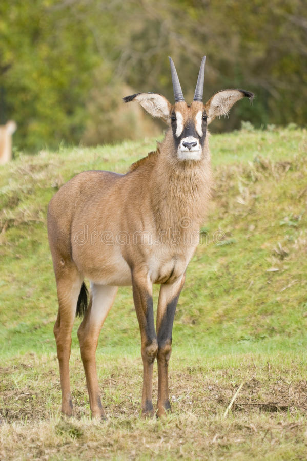 Download Roan Antelope stock image. Image of majestic, green, africa - 12109491