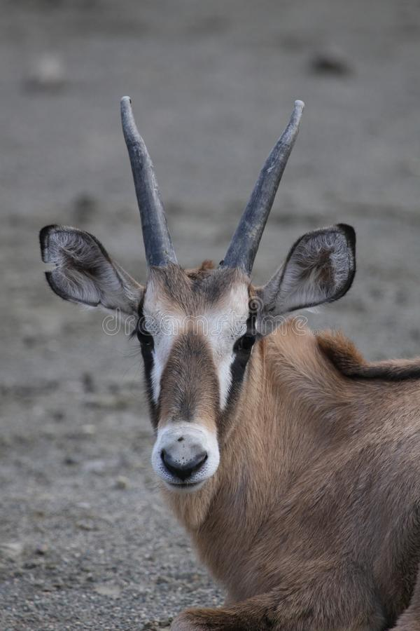 Roan antelope. The Roan Antelope (Hippotragus equinus) is a savanna antelope found in West, Central, East Africa and Southern Africa. Roan Antelope stand about a stock photography