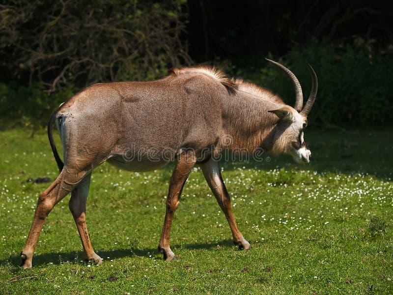 Download Roan Antelope stock photo. Image of herbivore, animal - 2951132