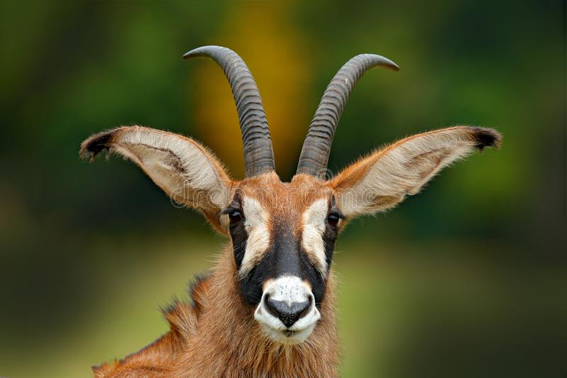 Roan antelope, Hippotragus equinus,savanna antelope found in West, Central, East and Southern Africa. Detail portrait of antelope,. Kenya stock photo