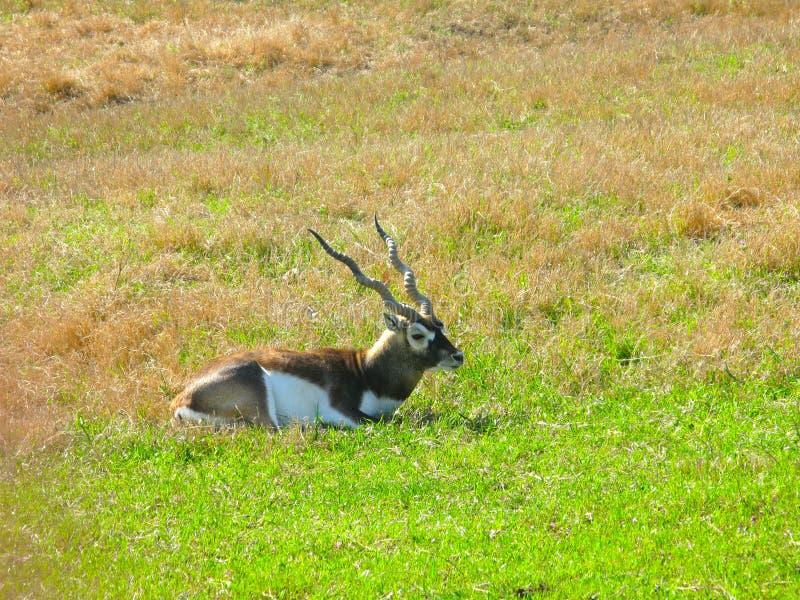 Download Roan Antelope sitting stock image. Image of kada, outdoors - 15009405