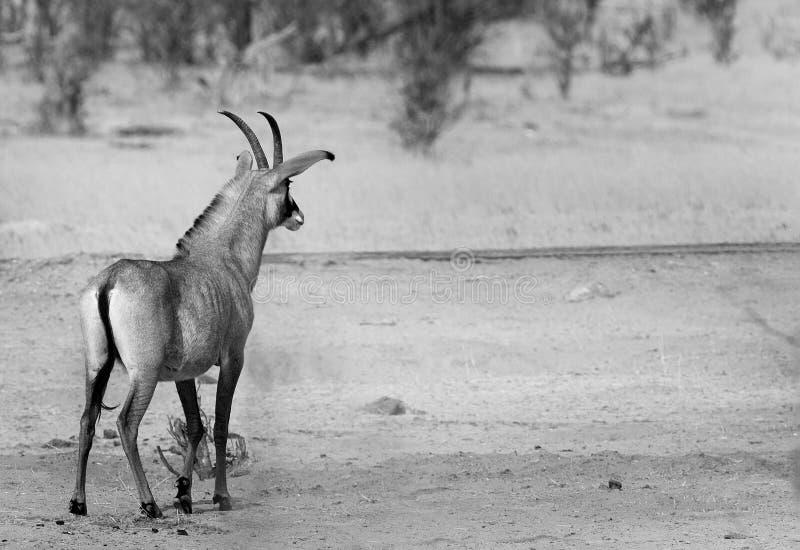 Roan Antelope solitaire dans noir et blanc dans Hwange images libres de droits