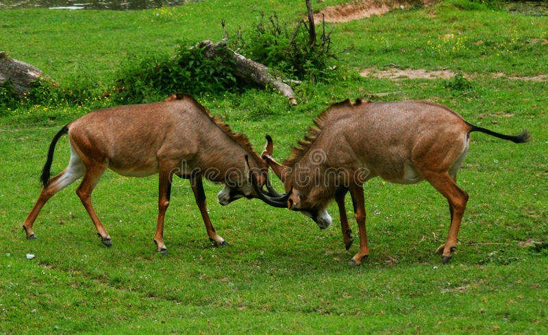 Roan antelopes (Hippotragus equinus) royalty free stock photo