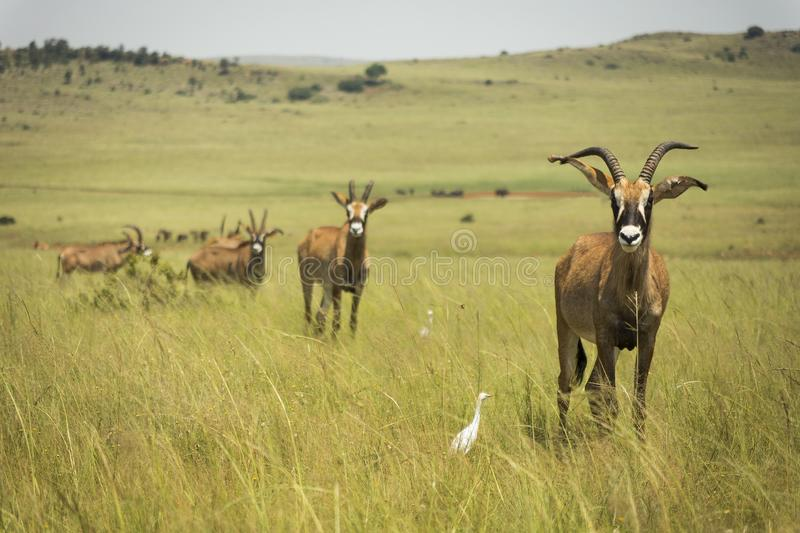 Roan antilope Afrika in de weiden royalty-vrije stock foto