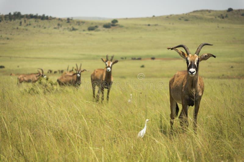 Roan Antilope Afrika in den Wiesen lizenzfreies stockfoto