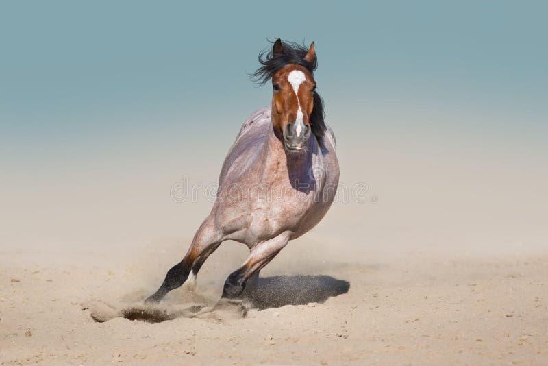 Wild horse fast run royalty free stock photo