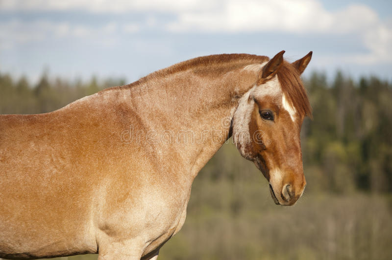 A roan horse in a pasture stock image