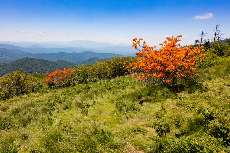 Roan Mountain. Flame Azaleas blooming on Round Bald near Roan Mountain stock photos