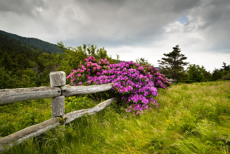 Download Roan Mountain State Park Rhododendron Flower Bloom Stock Photo - Image of fence, appalachian: 23014592