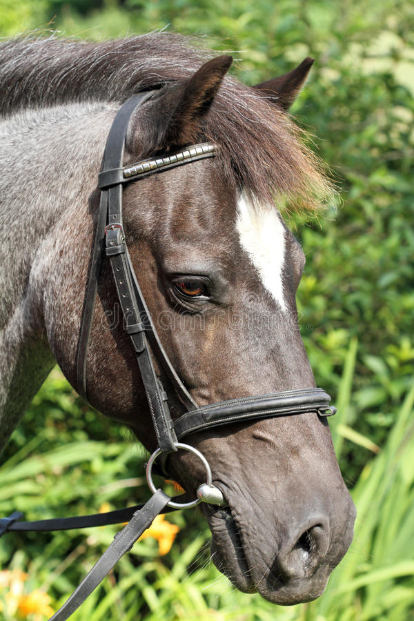 Download Roan pony portrait. stock photo. Image of head, strong - 35404718