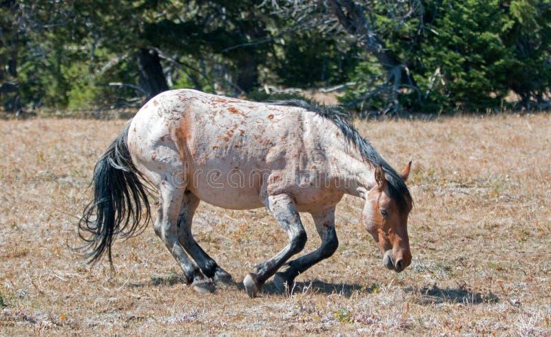 Roan Wild Stallion rojo alrededor a rodar en la suciedad en la gama del caballo salvaje de la montaña de Pryor en Montana imagen de archivo libre de regalías