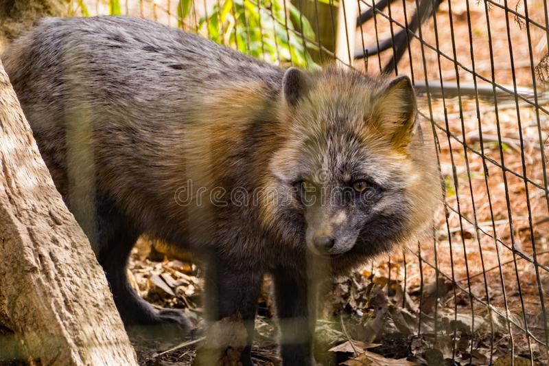 Red Wolf - Canis rufus - 2. Roanoke, Virginia USA – February 5th: The red wolf is a canine native to the southeastern United States and is on display at stock photos