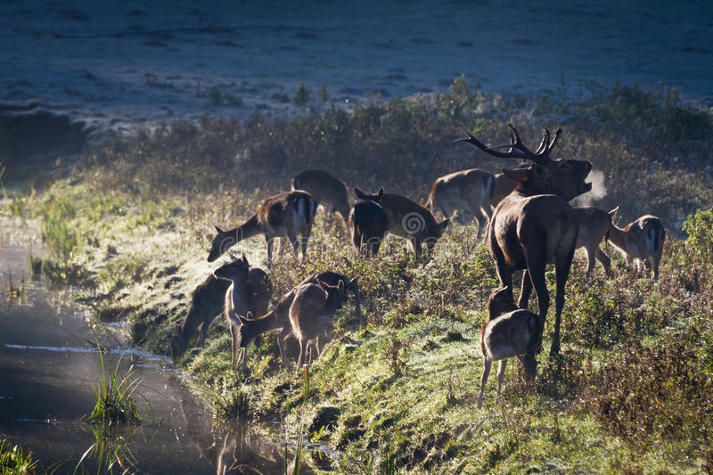 Roaring deer with herd standing near the river royalty free stock photos