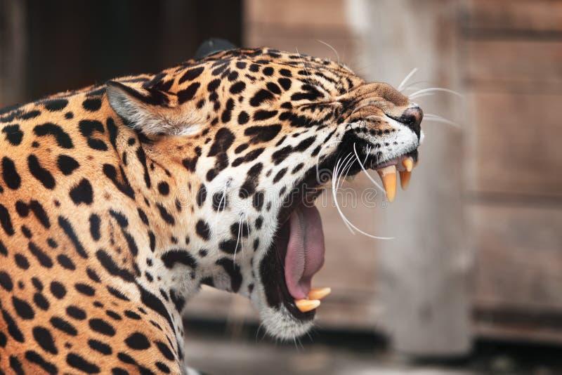 Roaring Jaguar. Wildlife royalty free stock photo