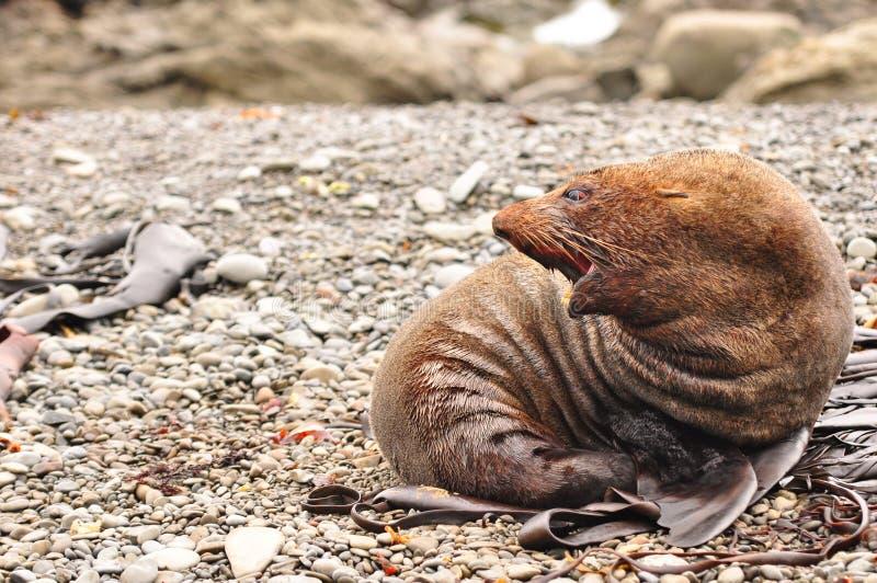 Roaring kekeno seal. A brown Kekeno seal in its habitat giving a loud aggresive roar royalty free stock photos