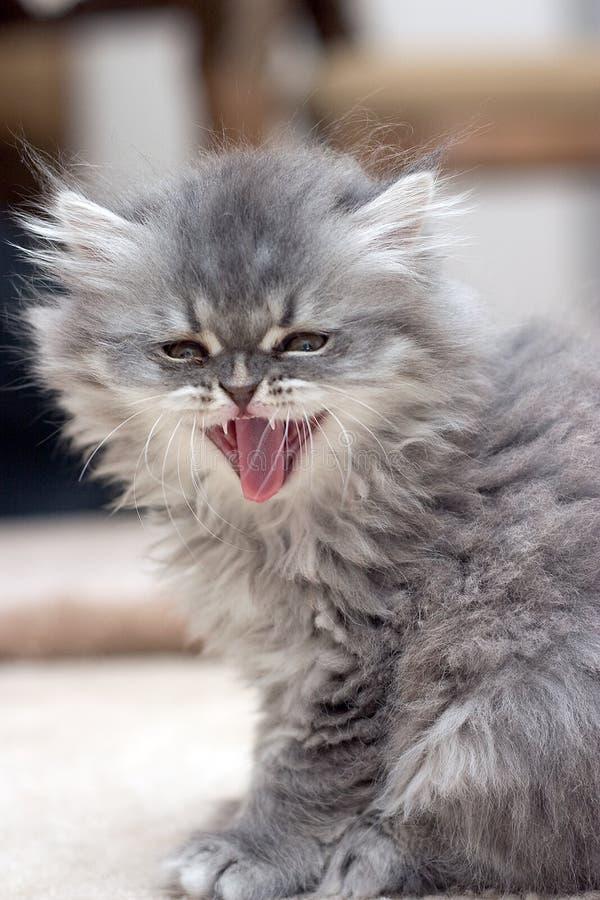 Roaring Kitten. Roaring persian kitten stock images