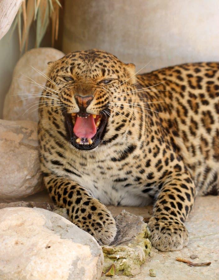 Roaring leopard stock photos