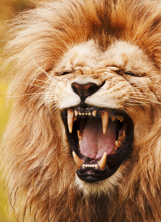 Download Roaring lion stock image. Image of dangerous, african - 25865527