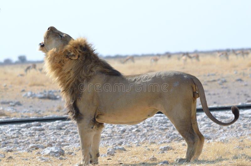 Roaring lion etosha. Lion calling the pride in etosha namibia stock photos