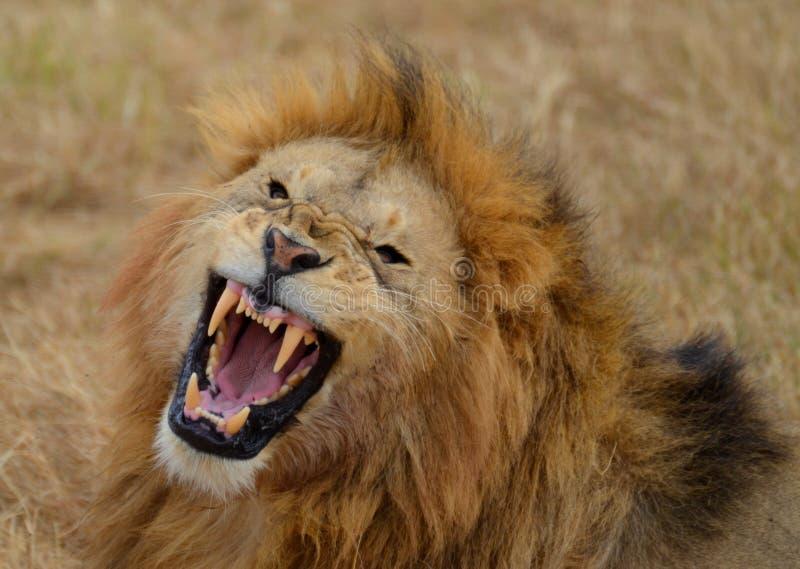 Roaring Lion 3 royalty free stock photos