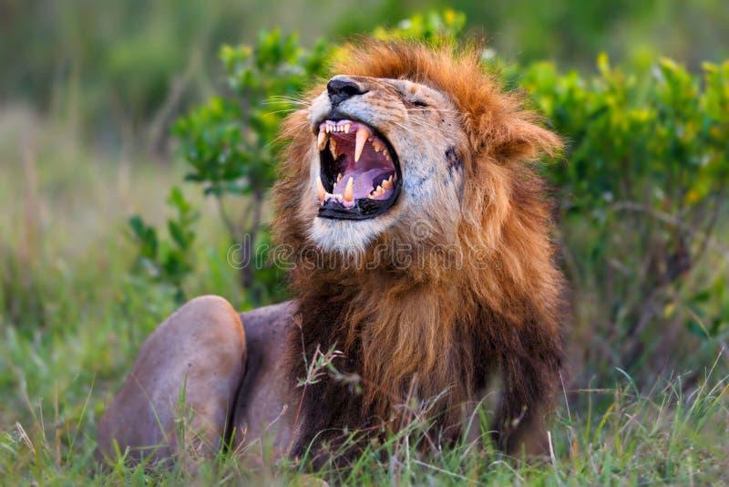 Roaring Lion Ron in Masai Mara royalty free stock photo