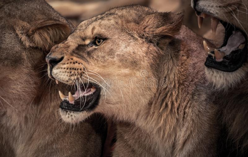 Roaring lioness stock photo