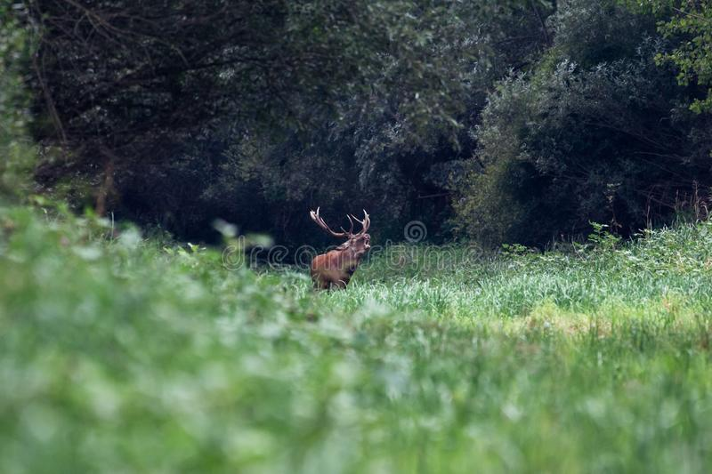 Roaring of majestic powerful adult red deer stag in green forest stock photography