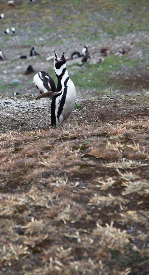Roaring penguin stock photo