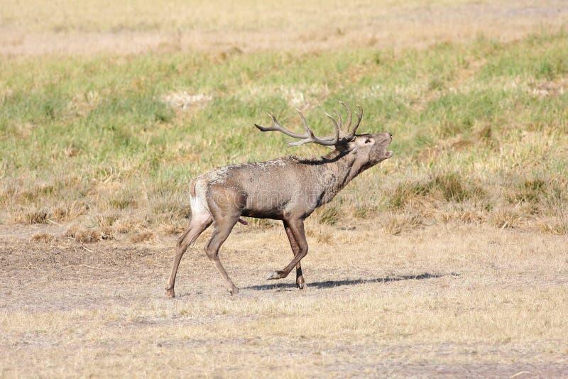 Roaring red deer in rutting season stock image