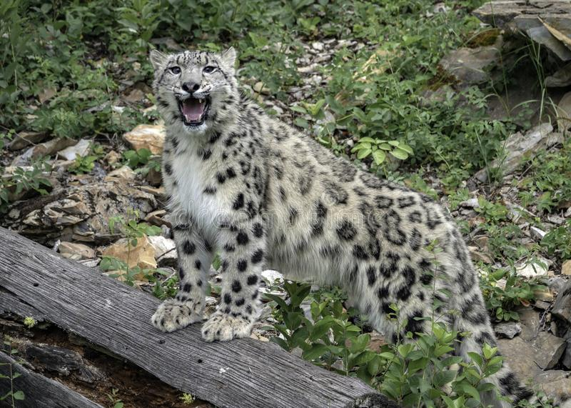 Roaring Snow Leopard on Log stock photography