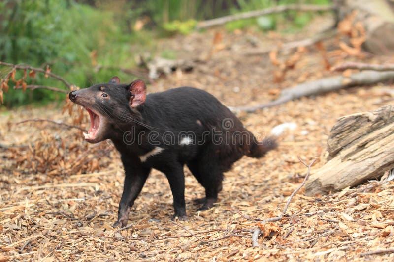 Roaring tasmanian devil. Roaring juvenile of tasmanian devil stock photography