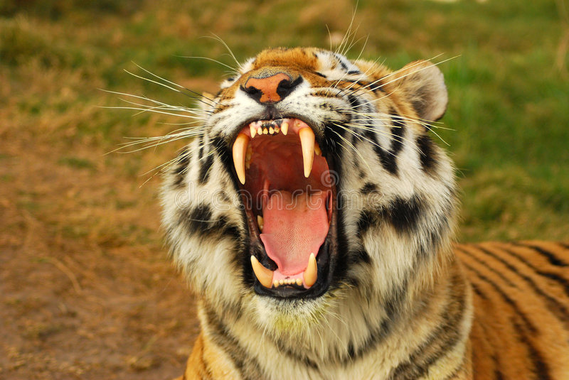Roaring tiger royalty free stock image