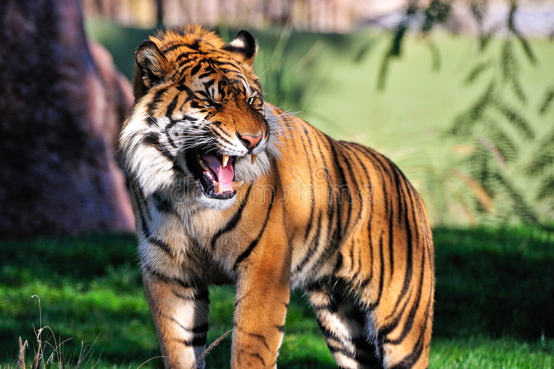 Download Roaring tiger stock photo. Image of growling, single, roaring - 8675960
