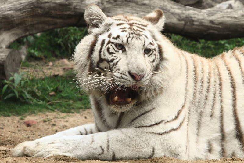 Roaring white tiger royalty free stock photos