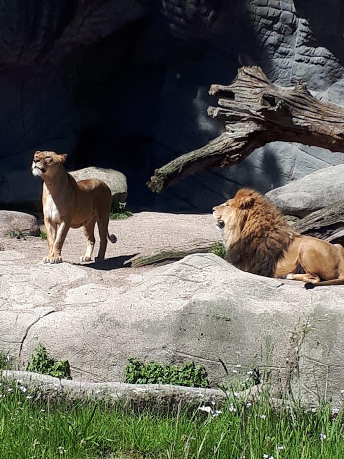 Download Roarrrr стоковое фото. изображение насчитывающей львев - 101202508