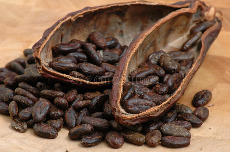 Roasted Cacao Beans. Cocoa (cacao) beans on a beanpod with focus on foreground stock photo