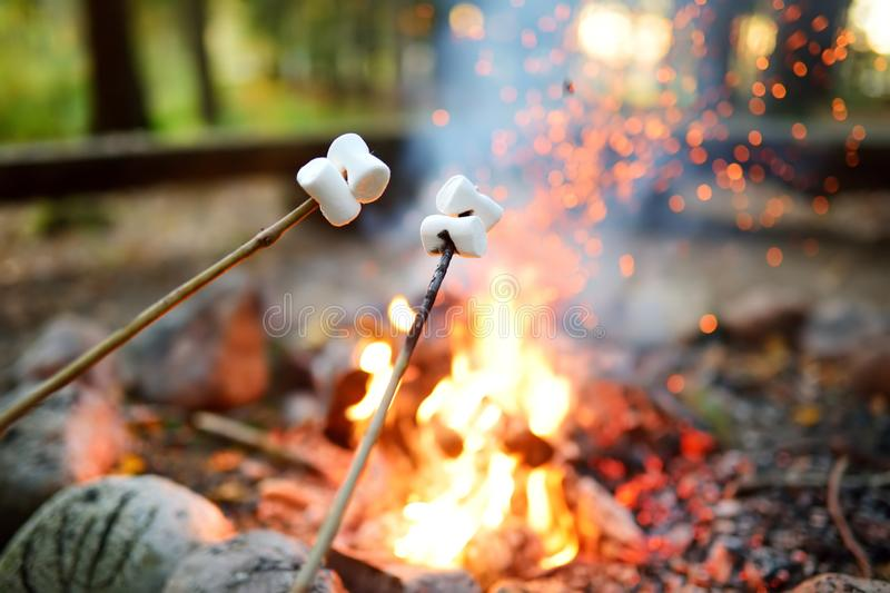 Roasting marshmallows on stick at bonfire. Having fun at camp fire. Camping in fall forest stock photo