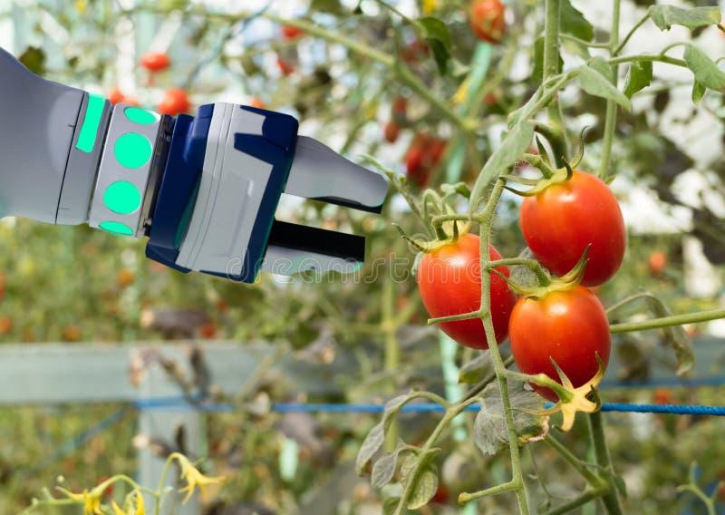 Robótico elegante en el concepto futurista de la agricultura, automatización de los granjeros del robot se debe programar para tr foto de archivo