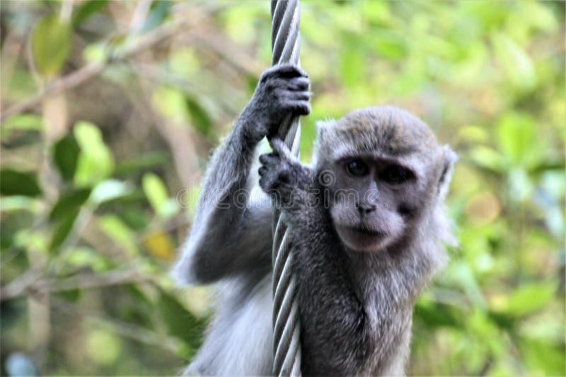 Rob van het aap klimijzer in bos royalty-vrije stock afbeeldingen