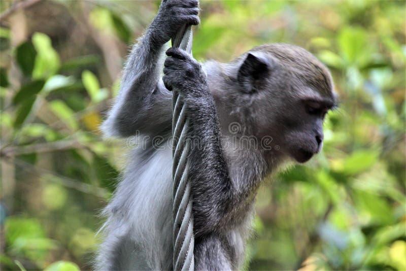 Rob van het aap klimijzer in bos stock foto's