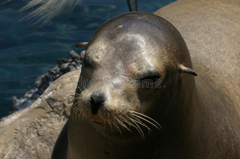 Robben, die im ruhigen Wasser schwimmen lizenzfreies stockbild