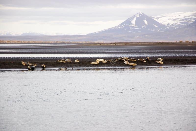 Robben nehmen, schwarzer Sandstrand, Hvitserkur, Island ein Sonnenbad stockbild